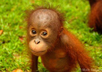 Borneo: Orang-Utans
